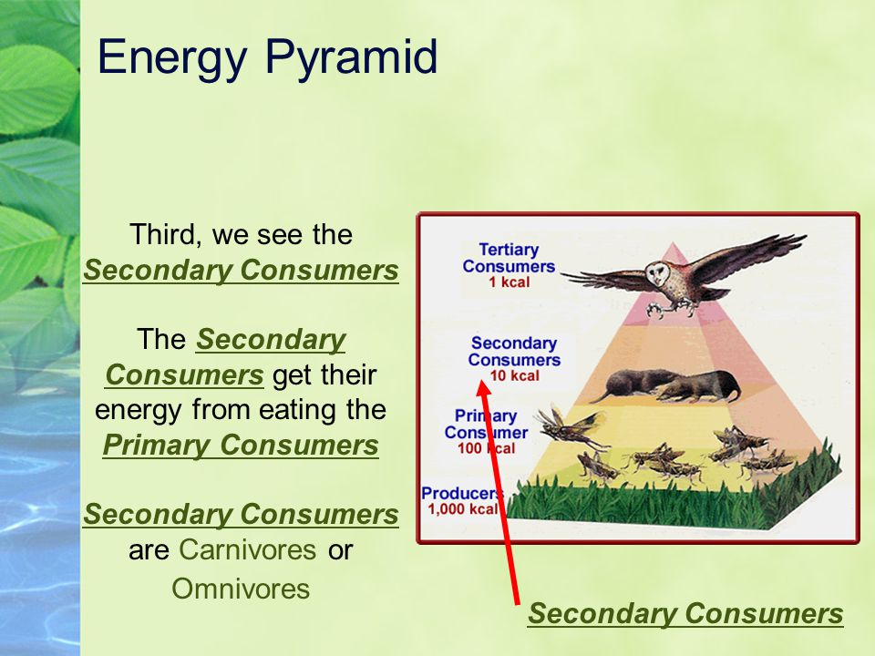 Energy Pyramid Third, we see the Secondary Consumers