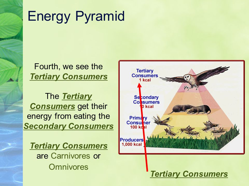 Energy Pyramid Fourth, we see the Tertiary Consumers