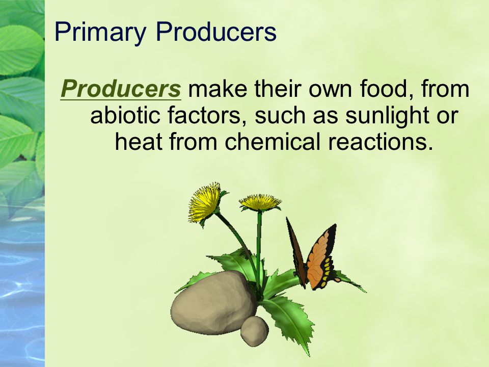 Primary Producers Producers make their own food, from abiotic factors, such as sunlight or heat from chemical reactions.