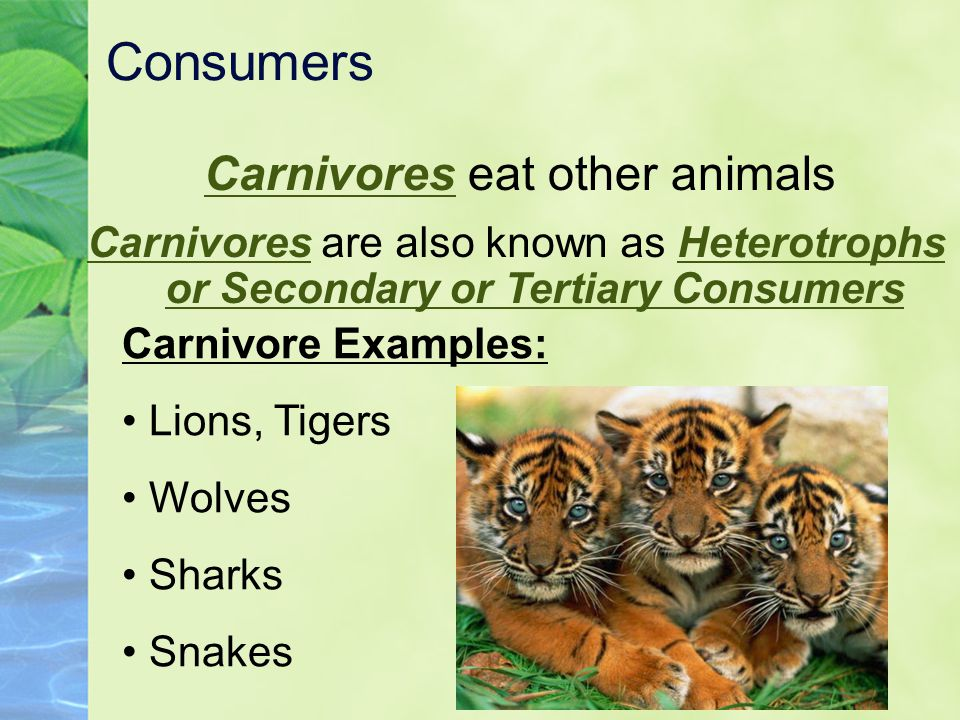 Carnivores eat other animals