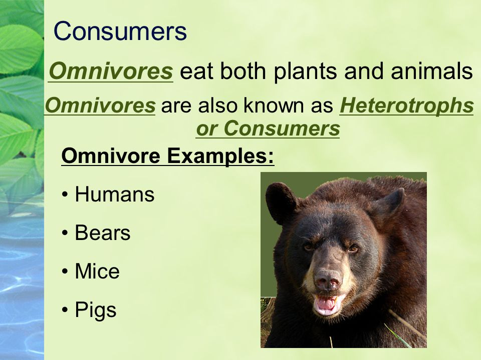 Consumers Omnivores eat both plants and animals