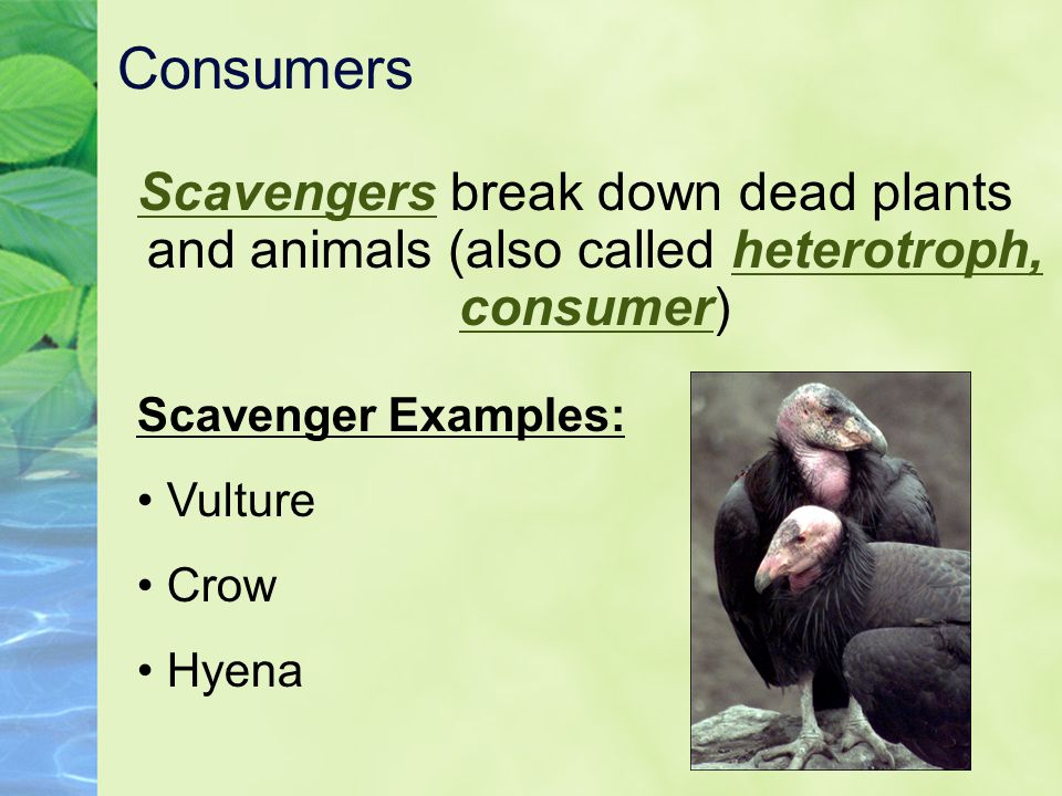 Consumers Scavengers break down dead plants and animals (also called heterotroph, consumer) Scavenger Examples:
