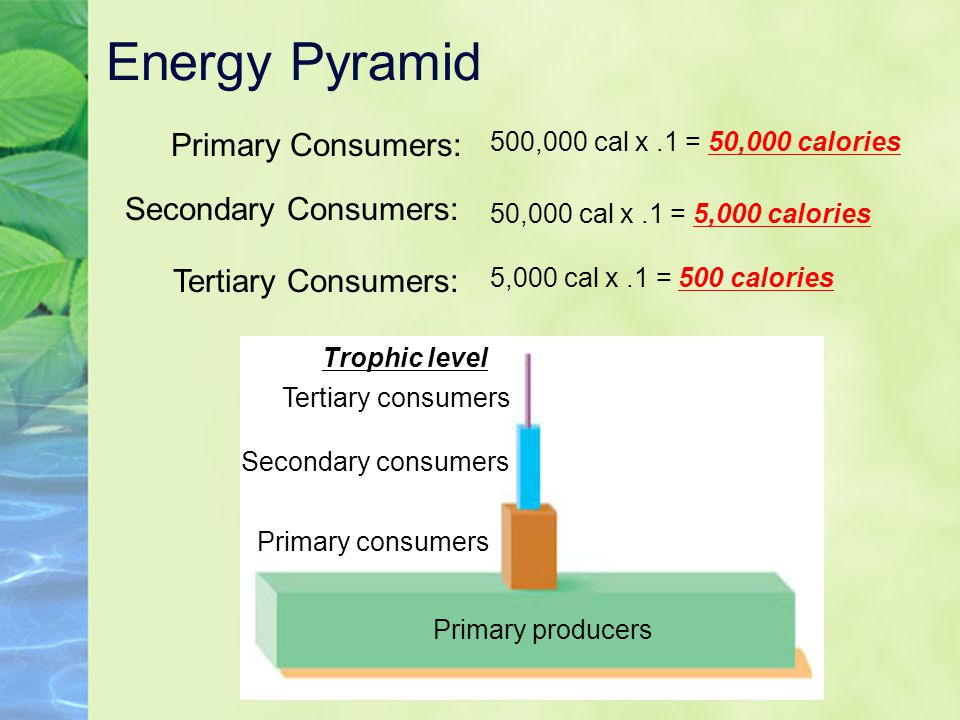 Energy Pyramid Primary Consumers: Secondary Consumers:
