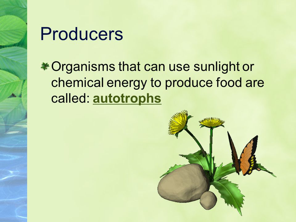 Producers Organisms that can use sunlight or chemical energy to produce food are called: autotrophs