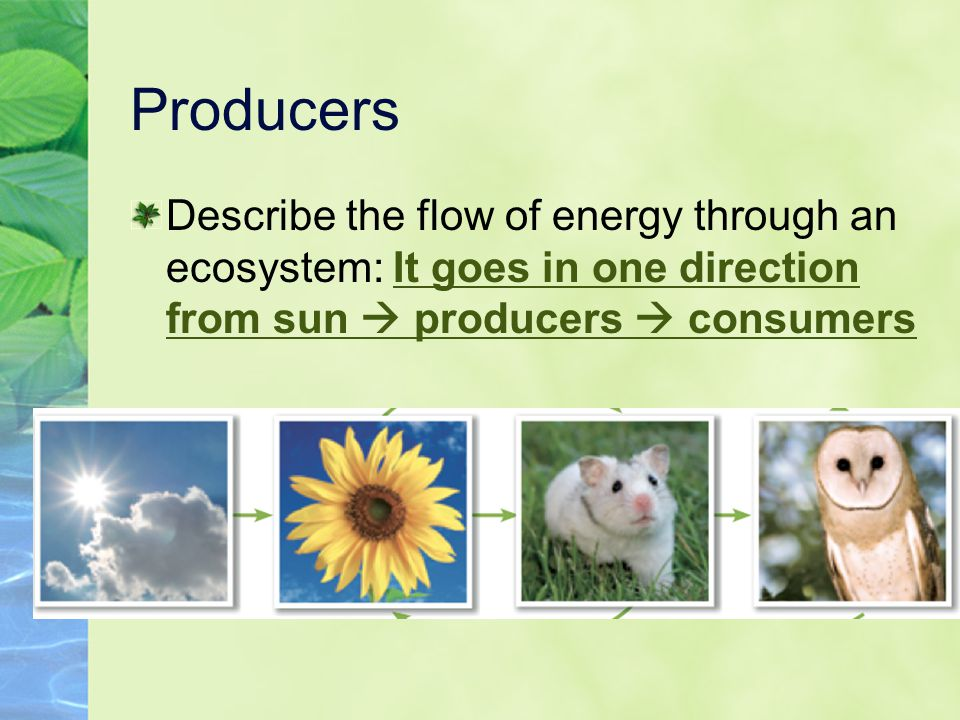 Producers Describe the flow of energy through an ecosystem: It goes in one direction from sun  producers  consumers.