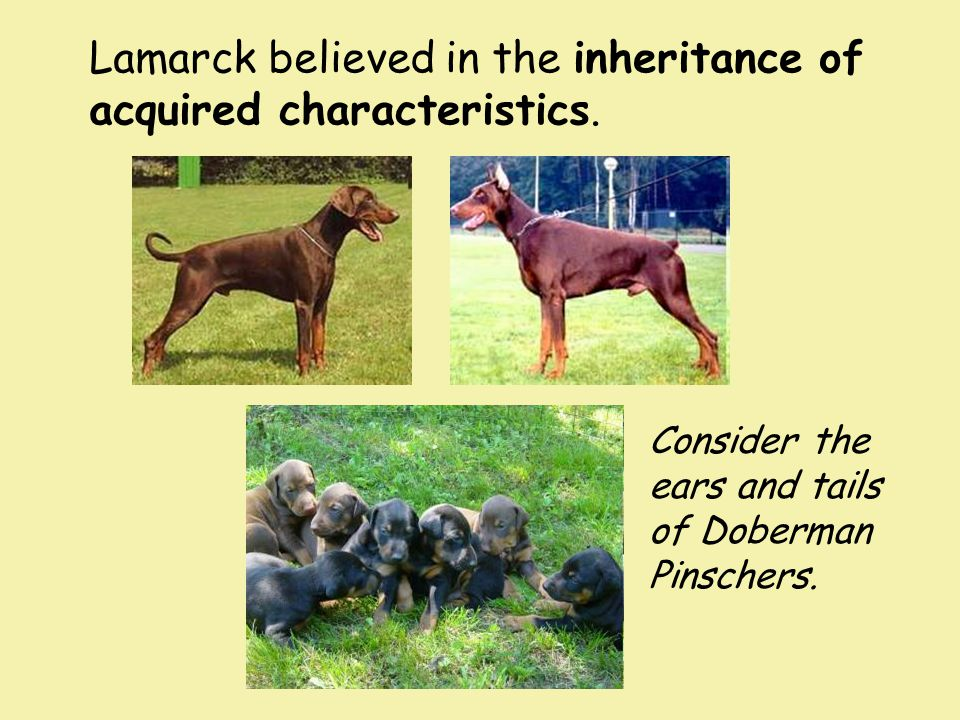 Lamarck believed in the inheritance of acquired characteristics.