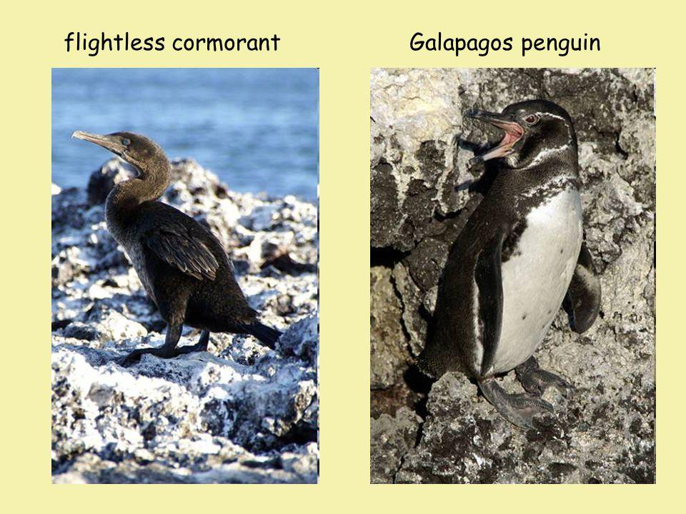 flightless cormorant Galapagos penguin