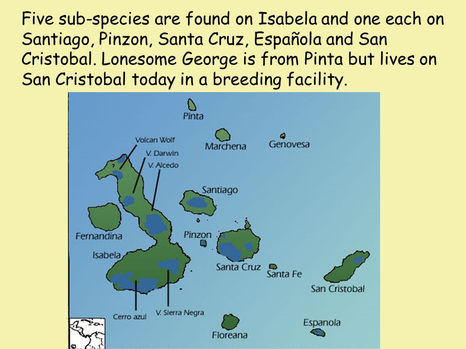 Five sub-species are found on Isabela and one each on Santiago, Pinzon, Santa Cruz, Española and San Cristobal.