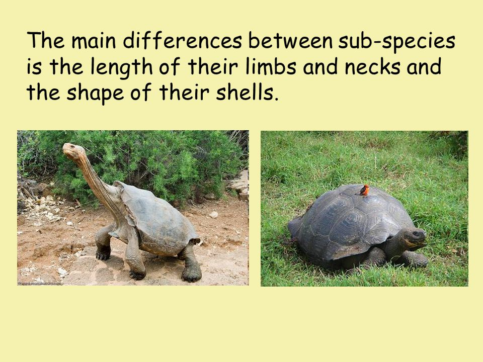 The main differences between sub-species is the length of their limbs and necks and the shape of their shells.