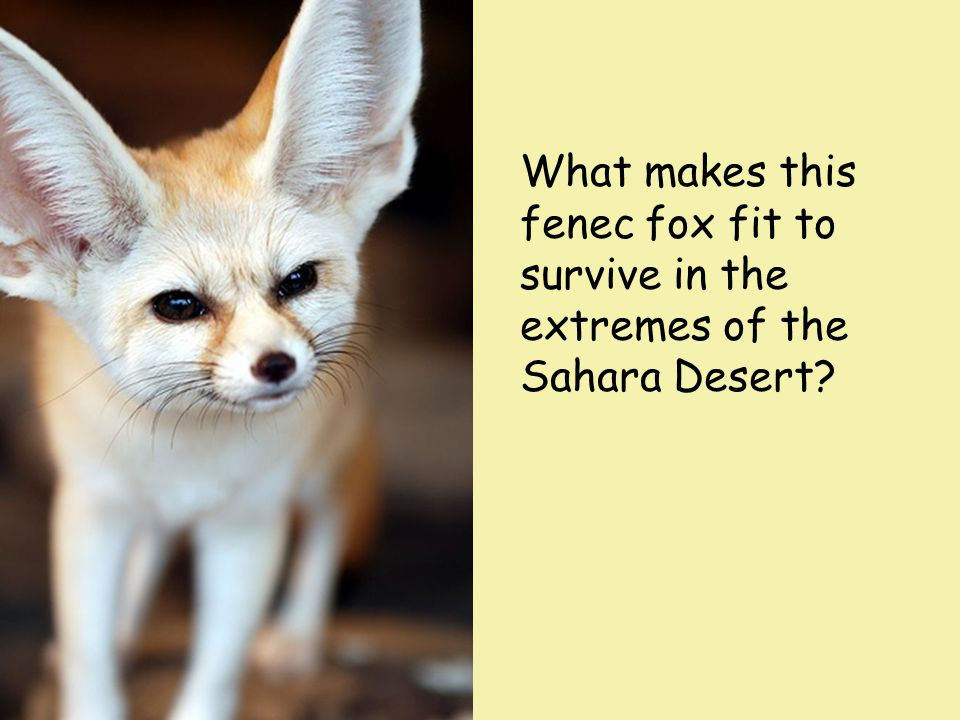 What makes this fenec fox fit to survive in the extremes of the Sahara Desert