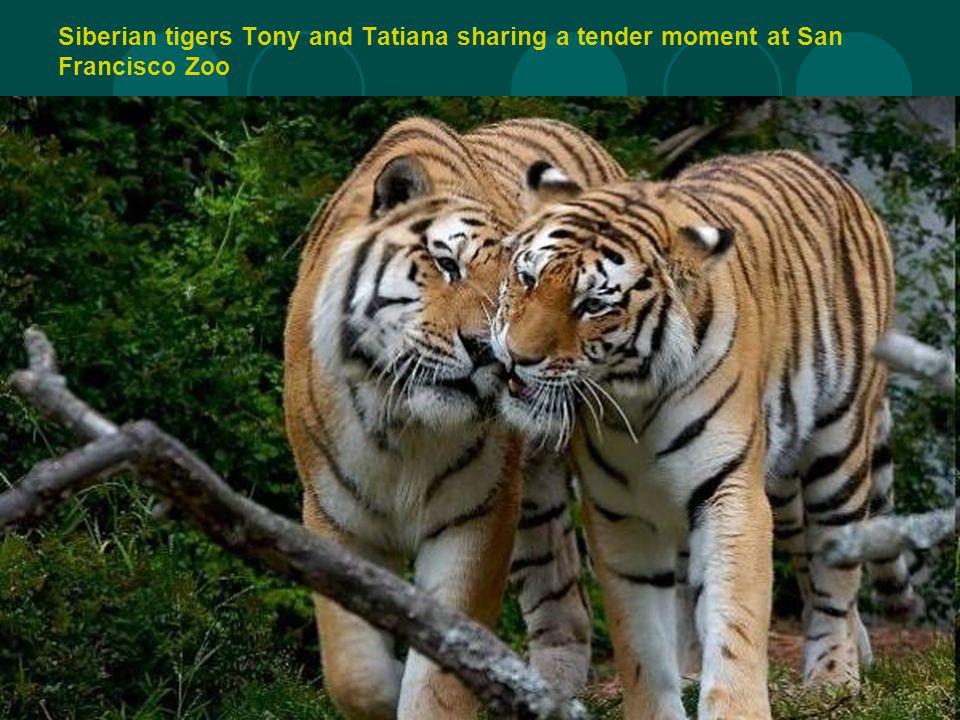 Siberian tigers Tony and Tatiana sharing a tender moment at San Francisco Zoo