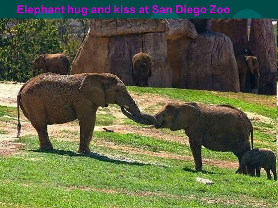 Elephant hug and kiss at San Diego Zoo