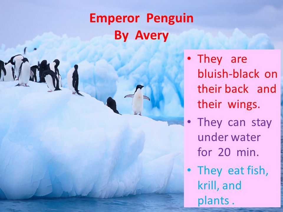 Emperor Penguin By Avery