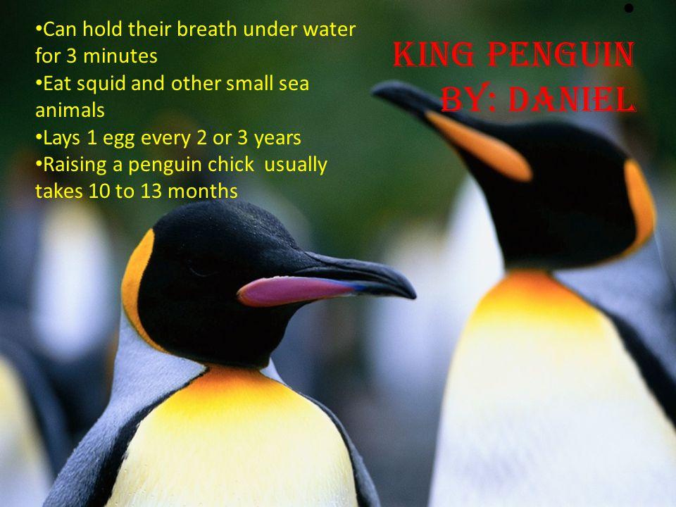 King penguin by: Daniel