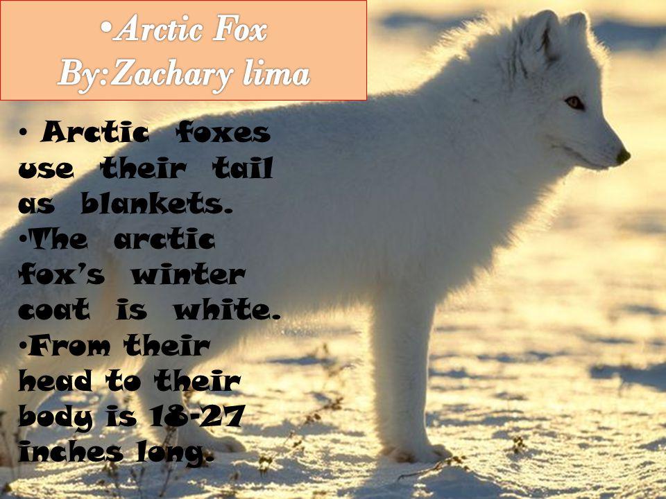 Arctic Fox By:Zachary lima