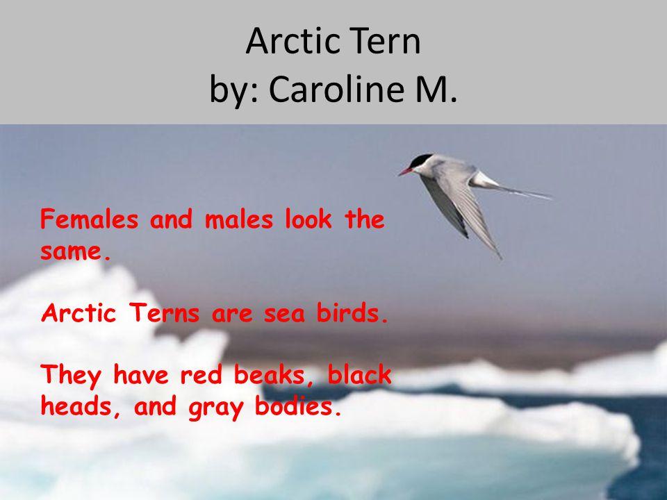 Arctic Tern by: Caroline M.