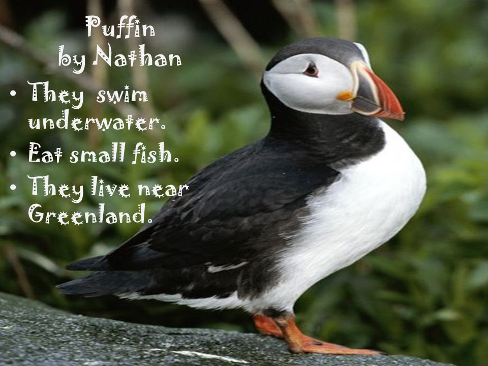 Puffin by Nathan They swim underwater. Eat small fish.