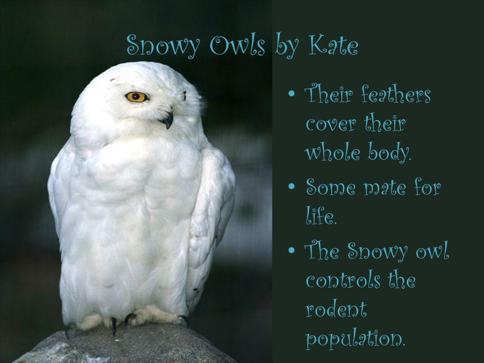 Snowy Owls by Kate Their feathers cover their whole body.
