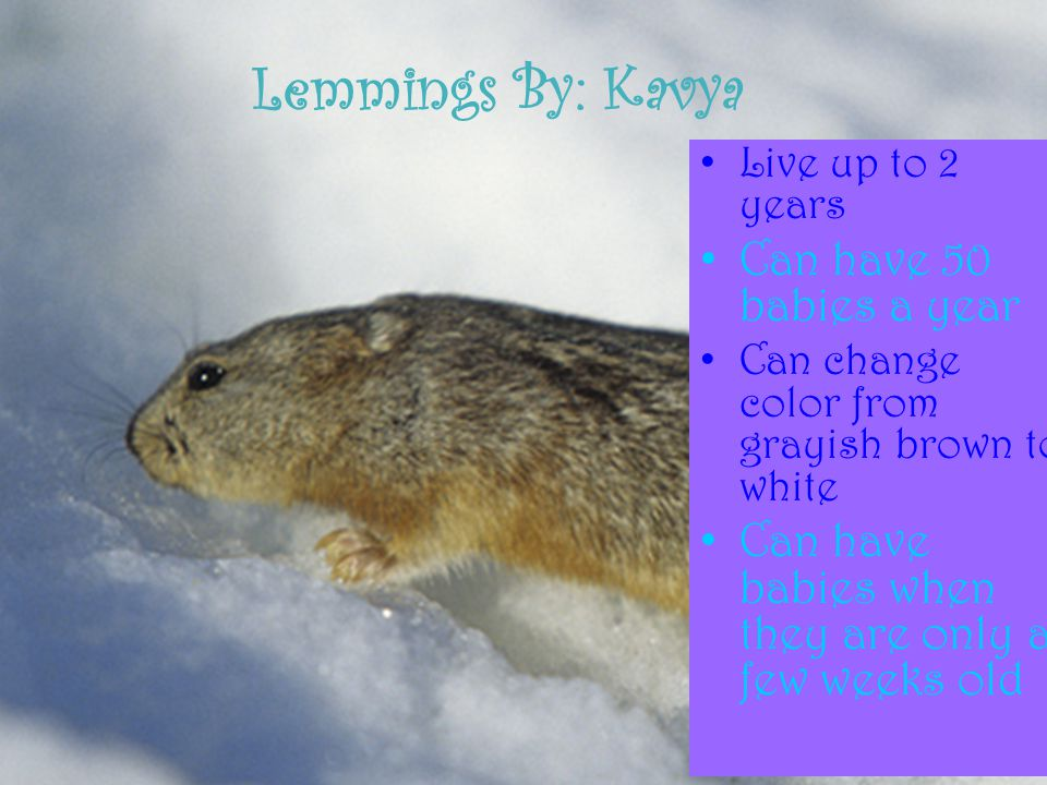 Lemmings By: Kavya Can have 50 babies a year