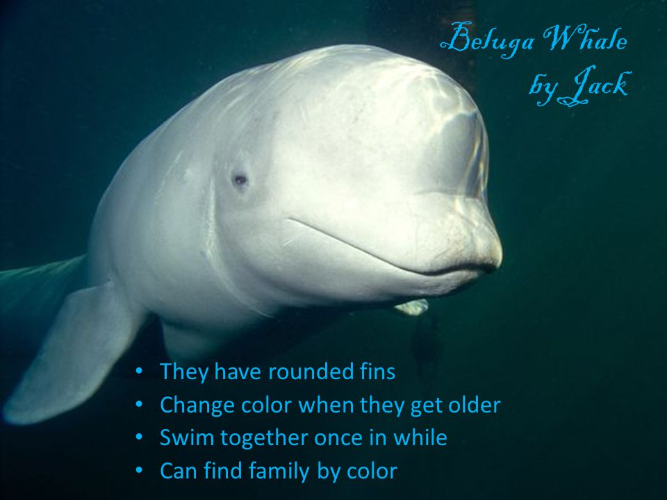 Beluga Whale by Jack They have rounded fins