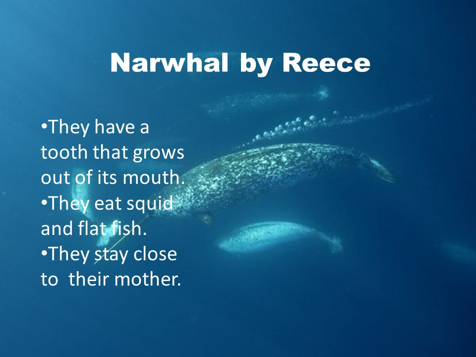 Narwhal by Reece They have a tooth that grows out of its mouth.