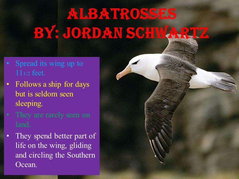 Albatrosses By: Jordan Schwartz