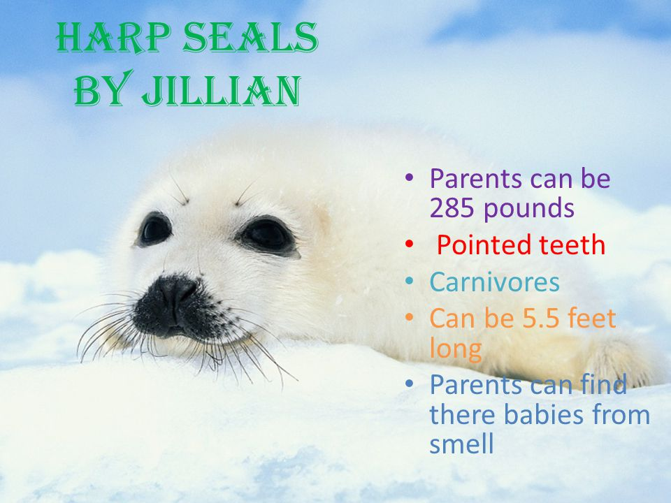 Harp Seals by Jillian Parents can be 285 pounds Pointed teeth