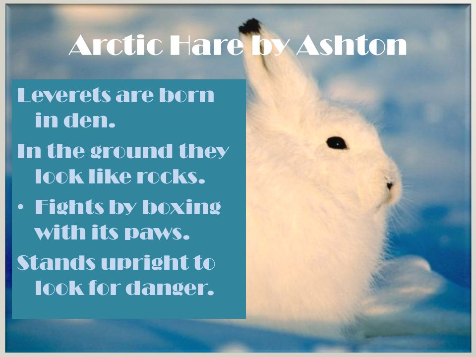 Arctic Hare by Ashton Leverets are born in den.