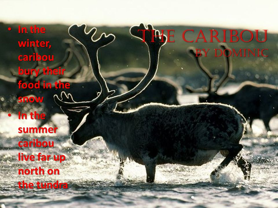 The Caribou by Dominic In the winter, caribou bury their food in the snow.