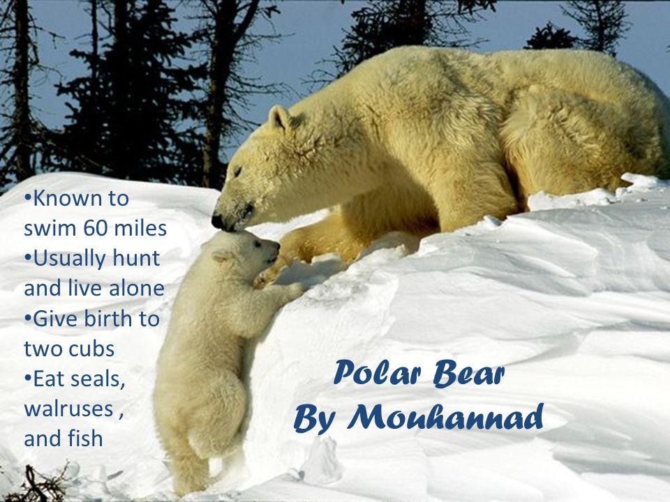 Polar Bear By Mouhannad