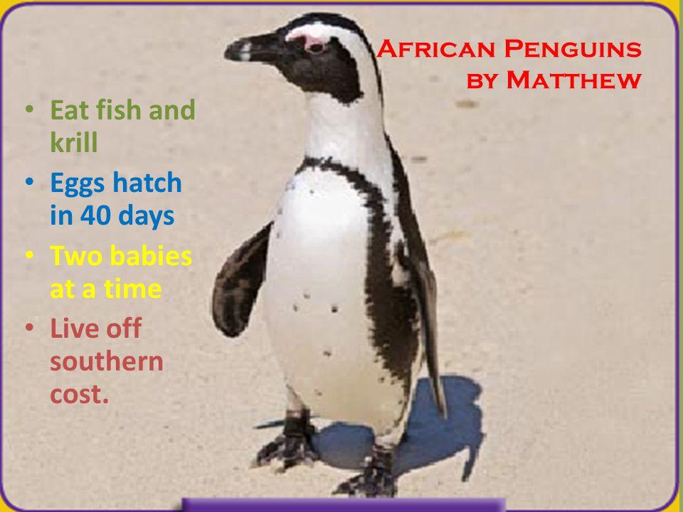 African Penguins by Matthew