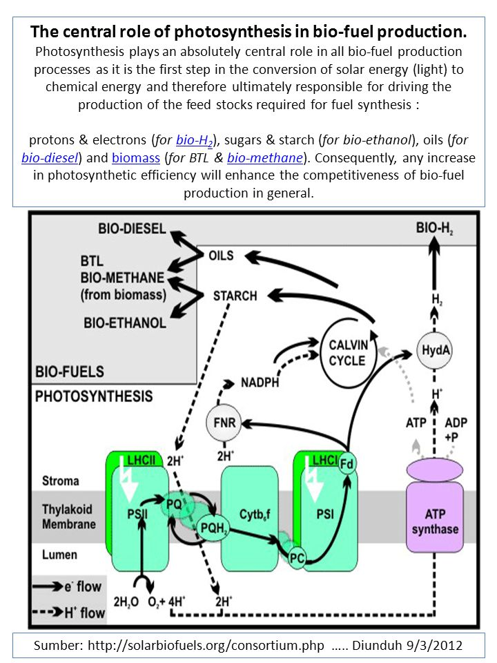 The central role of photosynthesis in bio-fuel production.