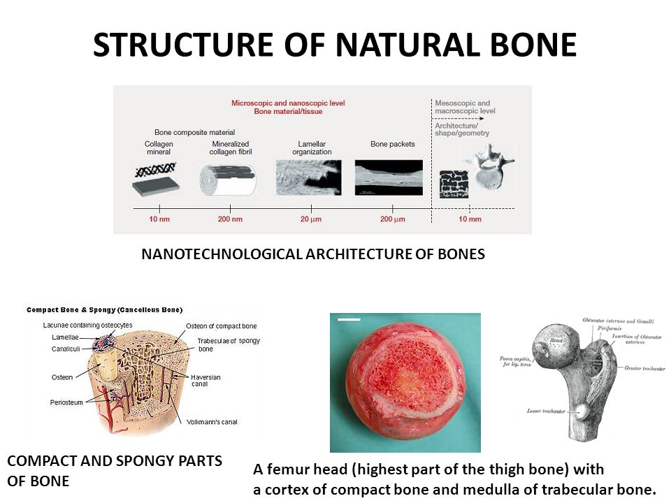 STRUCTURE OF NATURAL BONE