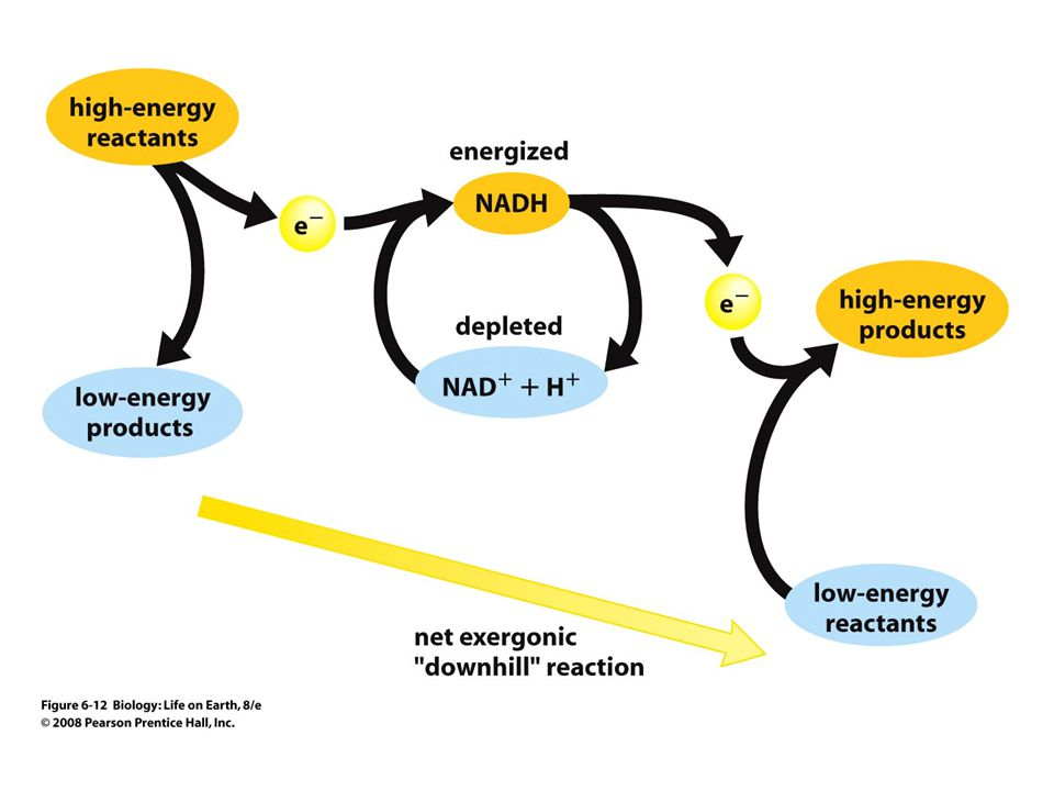 FIGURE 6-12 Electron carriers