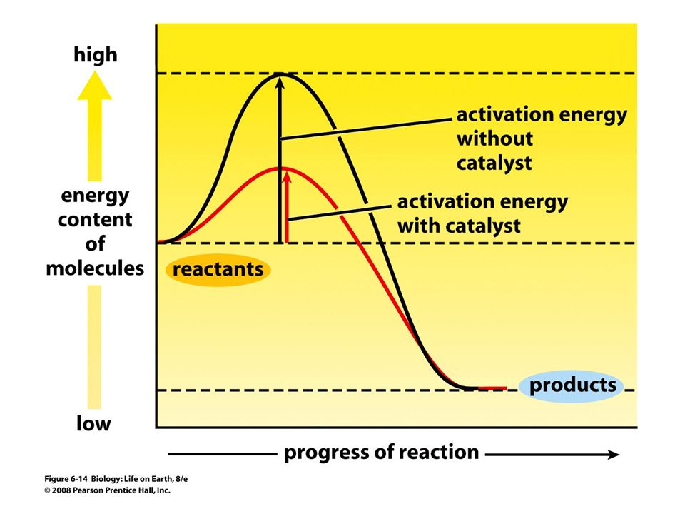 FIGURE 6-14 Catalysts such as enzymes lower activation energy