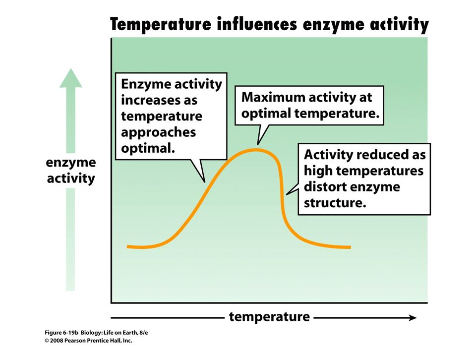 FIGURE 6-19b Enzymes function best within narrow ranges of pH and temperature.
