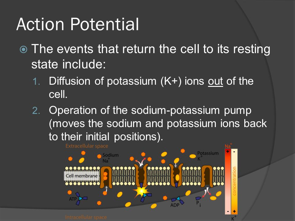 Action Potential The events that return the cell to its resting state include: Diffusion of potassium (K+) ions out of the cell.