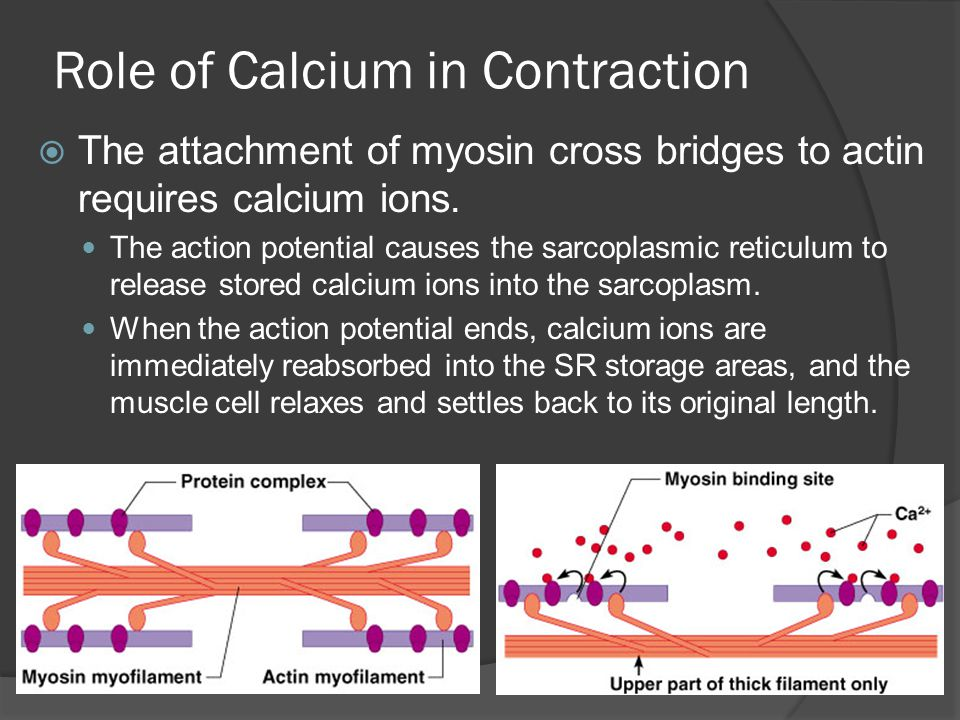 Role of Calcium in Contraction