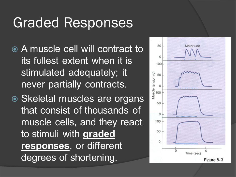 Graded Responses A muscle cell will contract to its fullest extent when it is stimulated adequately; it never partially contracts.