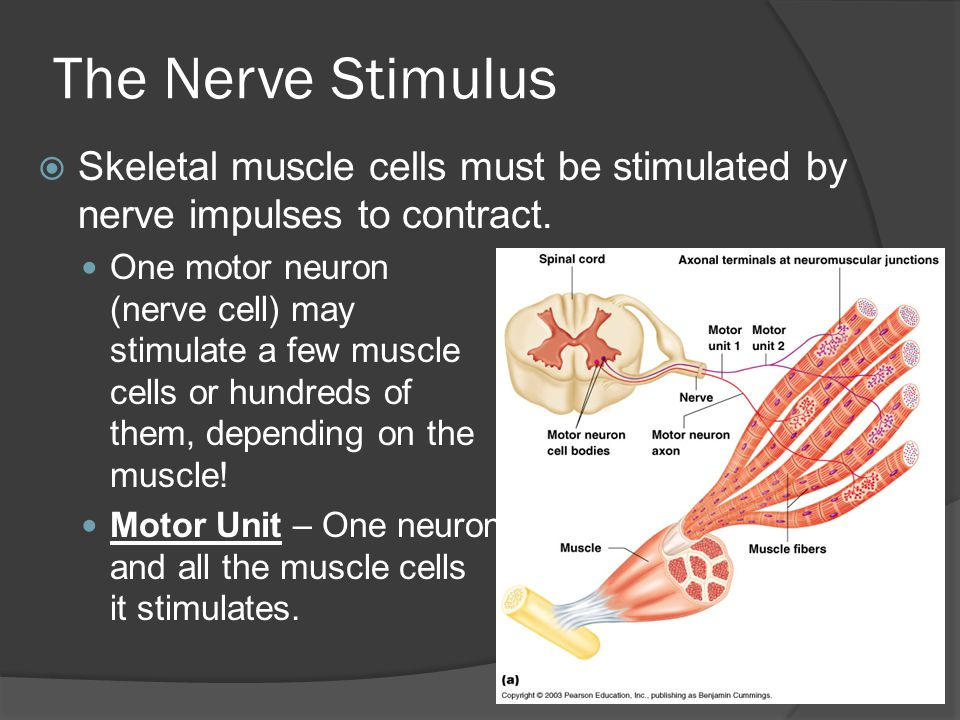 The Nerve Stimulus Skeletal muscle cells must be stimulated by nerve impulses to contract.