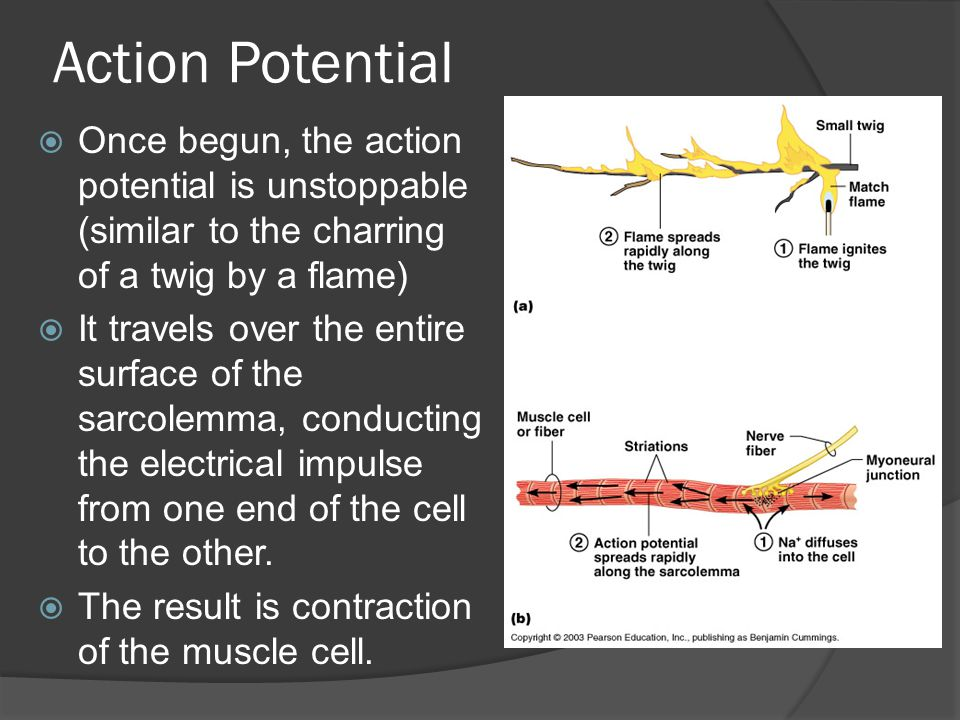 Action Potential Once begun, the action potential is unstoppable (similar to the charring of a twig by a flame)