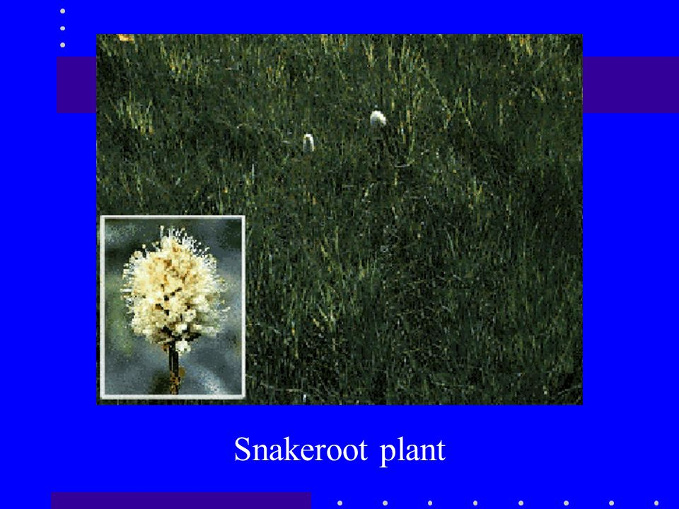 Snakeroot plant