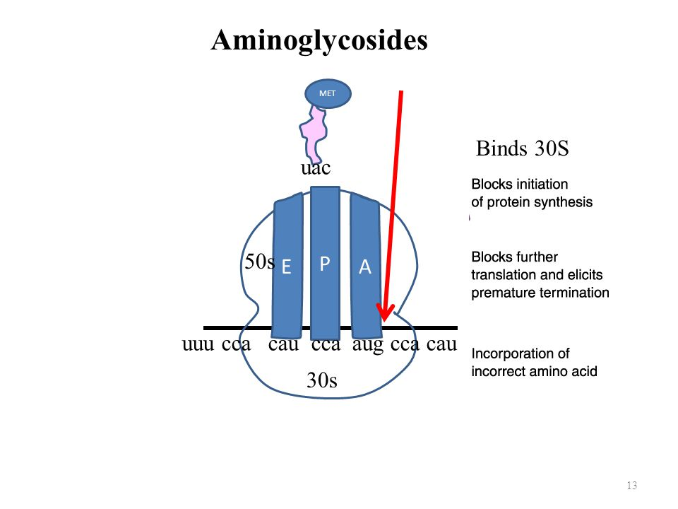 Aminoglycosides uac Binds 30S P E A 50s uuu cca cau cca aug cca cau