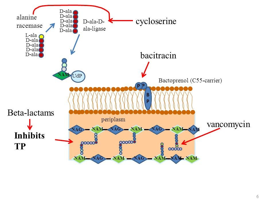 cycloserine bacitracin Beta-lactams vancomycin Inhibits TP alanine