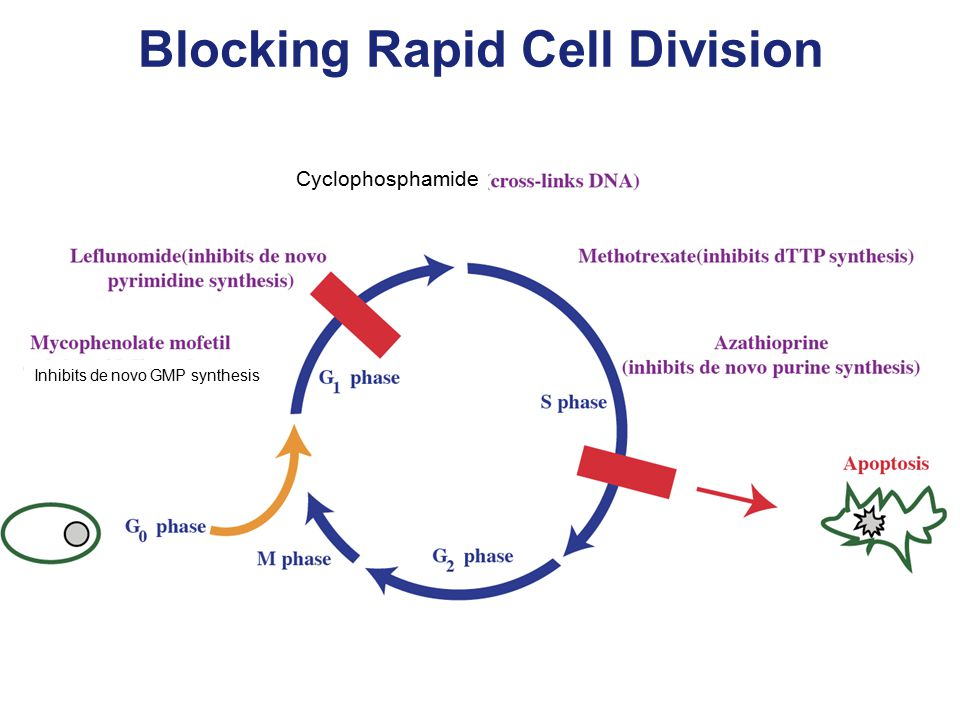 Blocking Rapid Cell Division