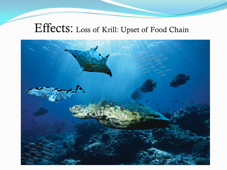 Effects: Loss of Krill: Upset of Food Chain