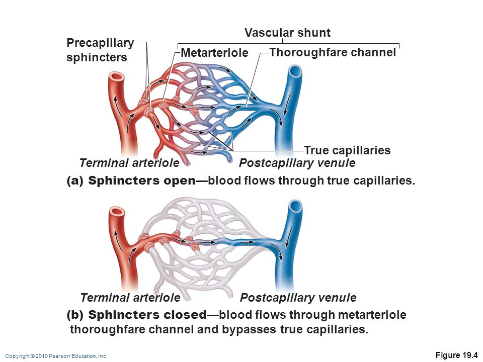 (a) Sphincters open—blood flows through true capillaries.