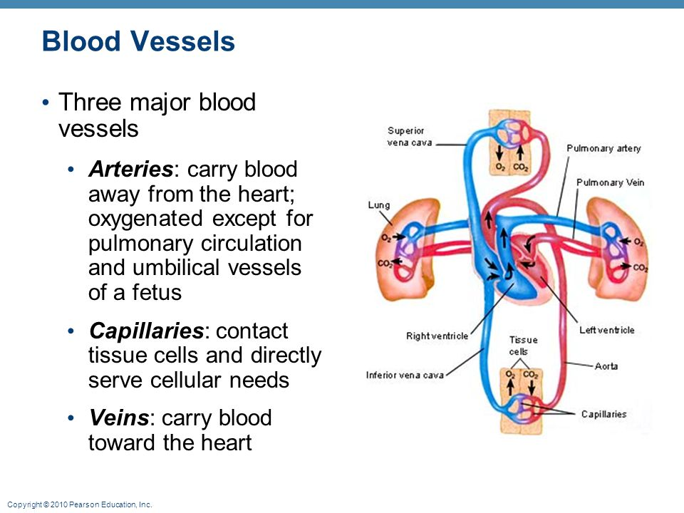 Blood Vessels Three major blood vessels