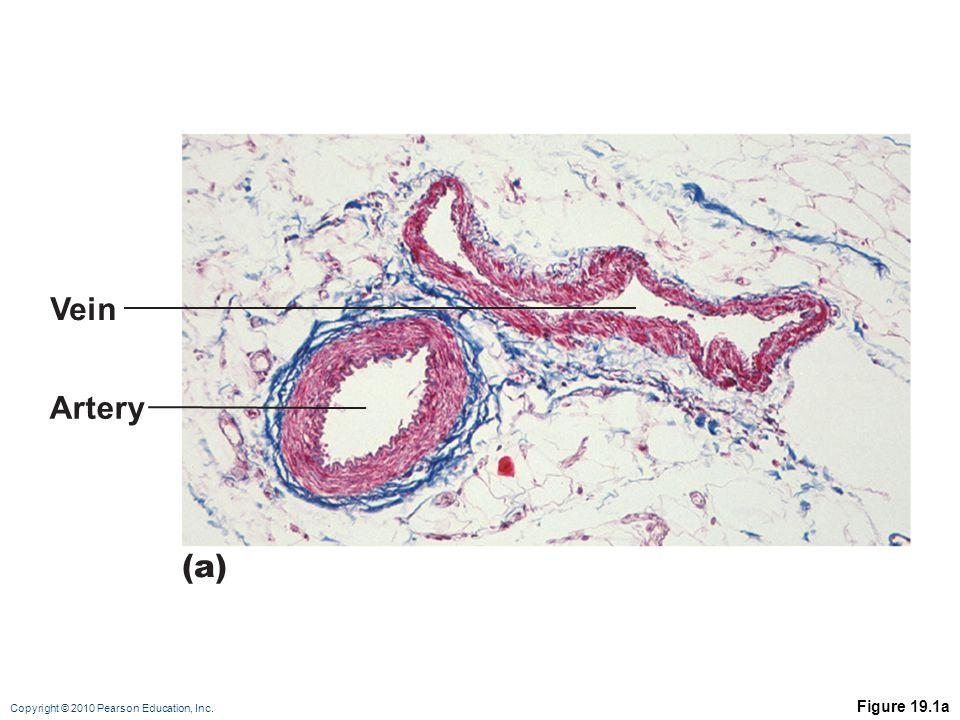 Vein Artery (a) Figure 19.1a