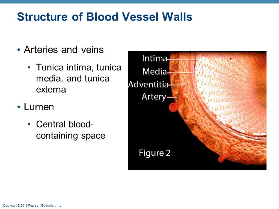 Structure of Blood Vessel Walls